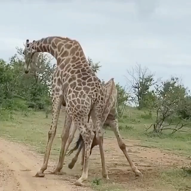Just one giraffe 🦒 helping another giraffe 🦒 stretch those long legs 🦵🏽 Video Credits: @lion_alert