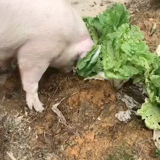 #猪 #Pig. #Interesting pig. #animals #funnyanimals #funnyanimalsvideos