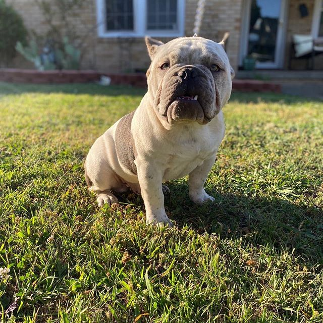 Exotic bully breeder, my guy here is the guy to go to 💯 follow @supersavagebullydude