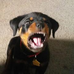 Macho the Rottweiler