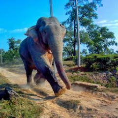 WILD ASSAM_ ELEPHANTS and PEOPLES