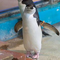 九州Penguin CH