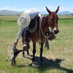 Whitehorse Mules