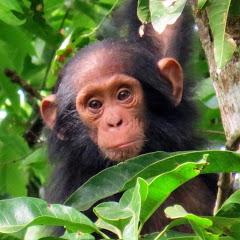 The Bulindi Chimpanzee & Community Project
