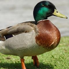 Ducky Bahi