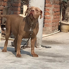 Mohit Sehrawat India Dog Kennel's