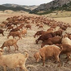 تربية الماعز في اسبانيا