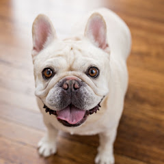 Cashew The Frenchie