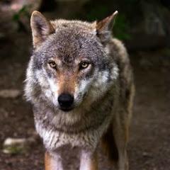 Волк син