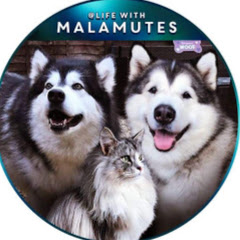 Life with Malamutes
