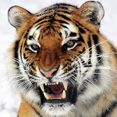 修羅場の虎