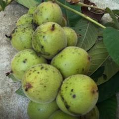 Under the Walnut Tree-古民家 DIYリフォームの記録