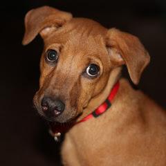 Indie puppy