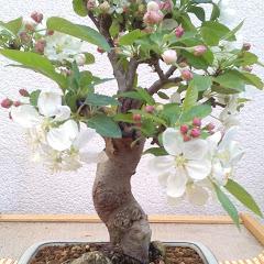 Bonsai Kenkyu