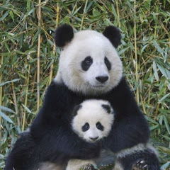 The Panda Cute and Funny