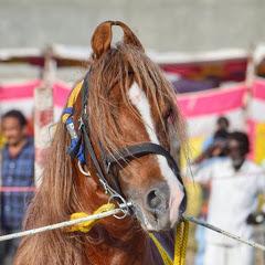 Kathiyawadi horse