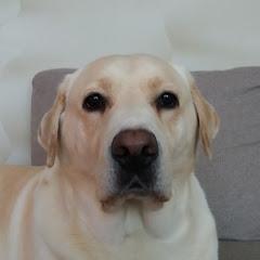 Labrador Missy