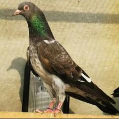 Pigeon world