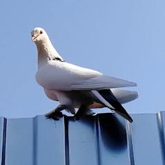 Майкоп Бойные Голуби Pigeons