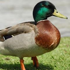 Ducky Bhai