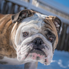 Reuben the Bulldog