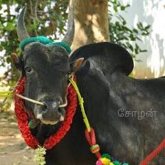தமிழரின் பாரம்பரியம் ஜல்லிக்கட்டு