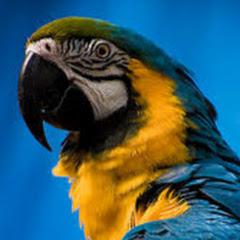 عصافير بادجي وكوكتيل Birds
