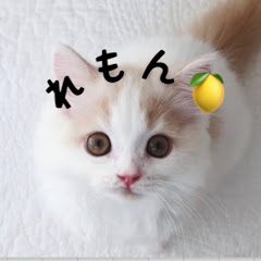 猫のレモンちゃんねる//Cat Lemon ch