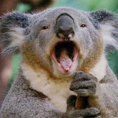 Floating Koala