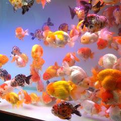criadero de betta y goldfish Javier RD