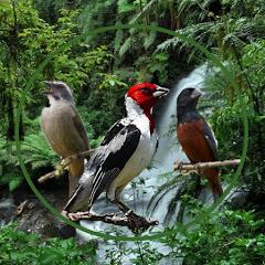 pássaros e melodias oficial