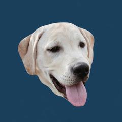 Scout The Labrador