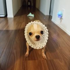 保護犬チワワ The chihuahua !