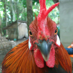 Ayam hutan sumatera