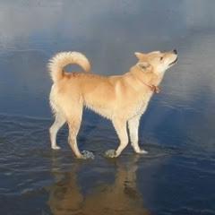 금동복실 Jindo Dog Couple Story