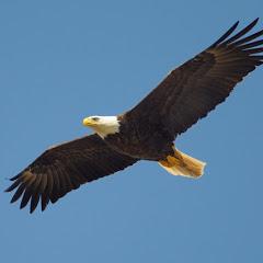 Κιτρινόμαυρος αετός ΑΕΚ