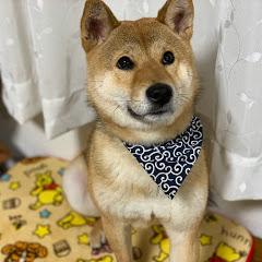 柴犬ハマ吉 shiba inu hamakiti