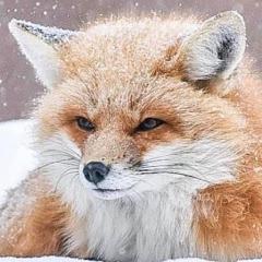 Bushi Fox