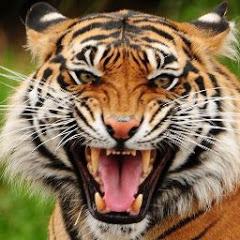 Зуб Тигра