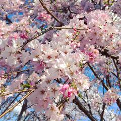 桜の木レシピ