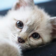 猫のデュフィ Fauvism Cat Dufy