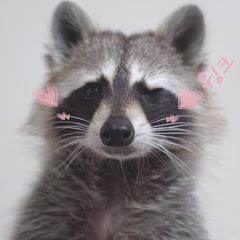 Raccoon 마쿤