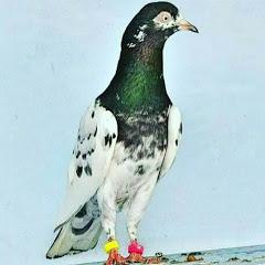 Mirpur Pigeons Page