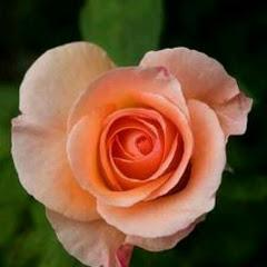 الورده البرتقاليه