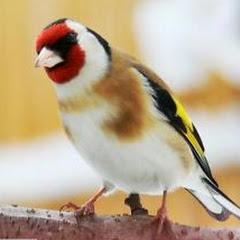 محبي الطيور المغردة