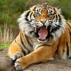 lane tigresa
