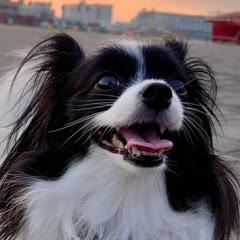 パピヨン犬モモ