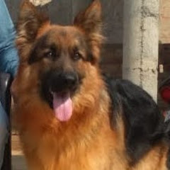 German shepherd sirsa