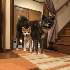 秋田犬ぱたこAkita-inu