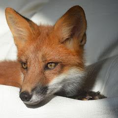 Funny Foxy Pride